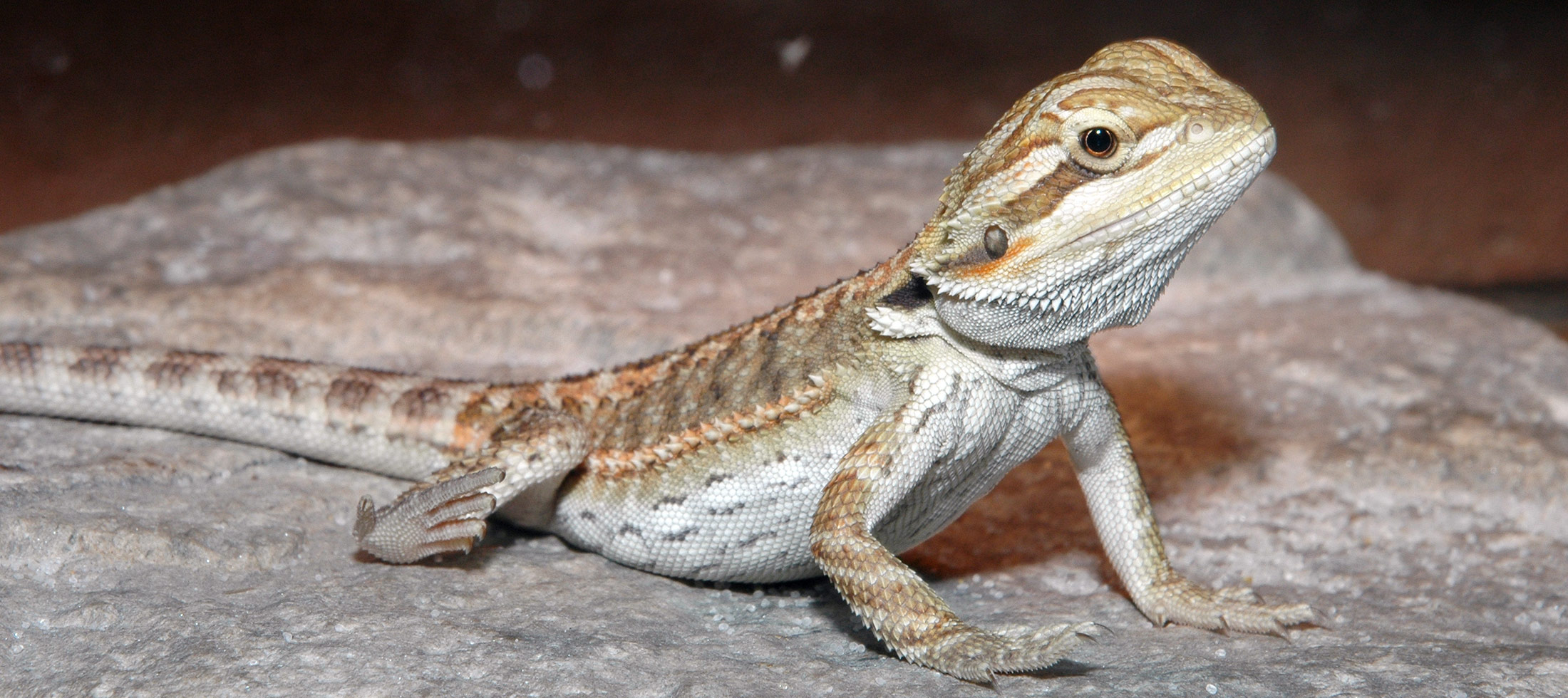 Marta's Pet Shop – Beared Dragon