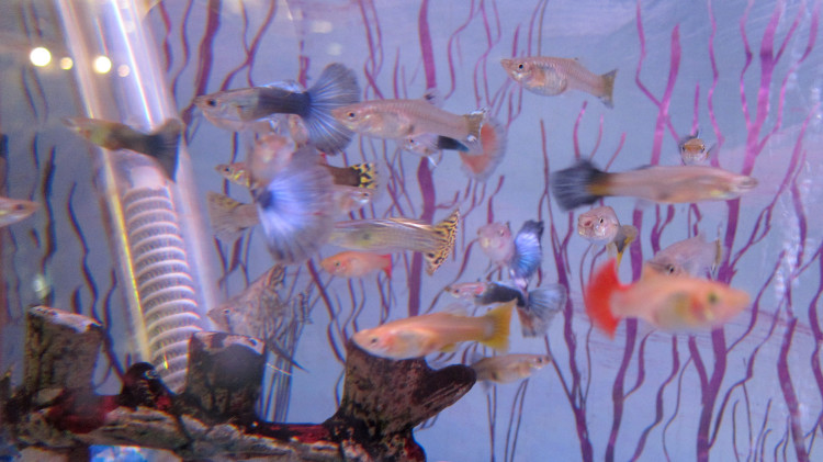 Marta's Pet Shop – Fish – Guppies