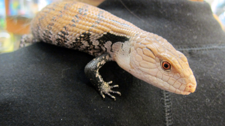Marta's Pet Shop – Reptiles – Skink