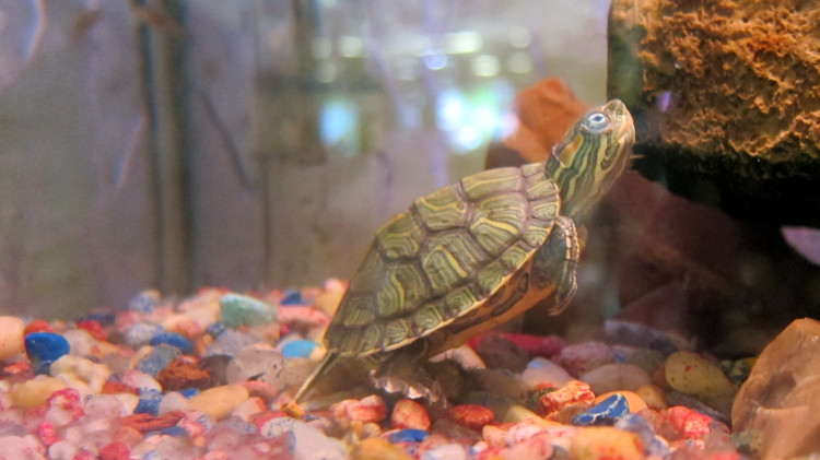 Marta's Pet Shop – Reptiles – Turtle