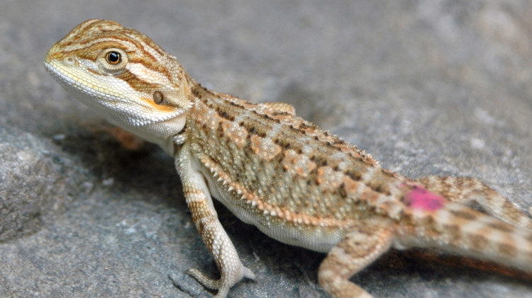 Marta's Pet Shop – Reptiles – Bearded Dragon